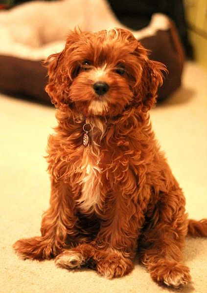423px-Ella_the_Cavapoo_puppy